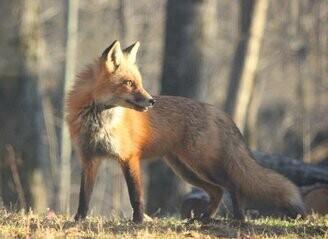 The Fox (Mp3)