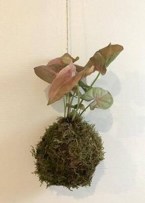 Kokedama Syngonium roze