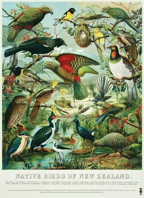 Native Birds of New Zealand Poster
