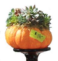 Small Succulent Pumpkin