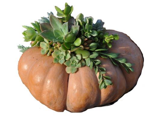 Jumbo Succulent Pumpkin