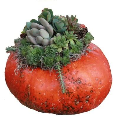 Large Succulent Pumpkin