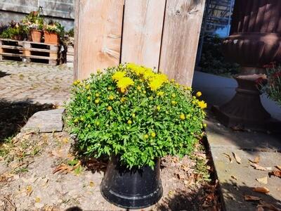 Multi Flora Chrysanthemen 3L Topf