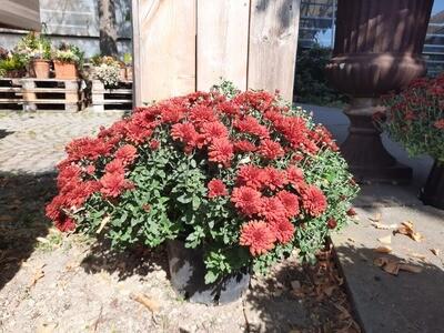 Multi Flora Chrysanthemen 5L Topf