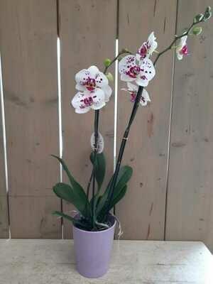 Geschenksidee Orchidee