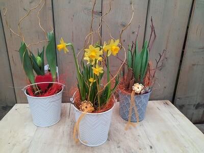 Tulpen oder Narzissen im Topf mit Dekoration
