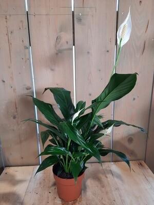 Spathiphyllum - Einblatt groß