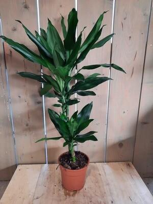 Dracaena - Drachenbaum