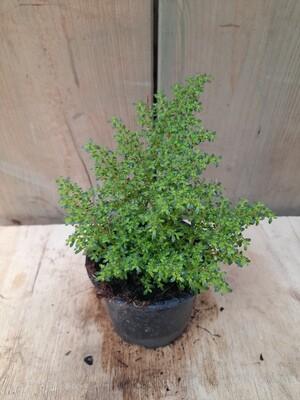 Pilea micophylla grün