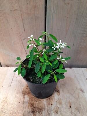 Zauberschnee - Euphorbia