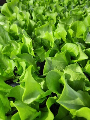 """Salat """"Kopfsalat"""" 8 Stück"""