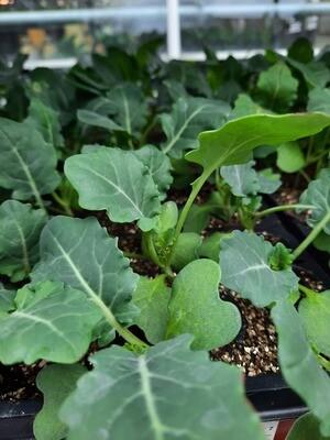 Broccoli 9 Stück