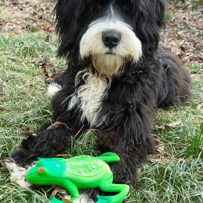 Big Frog Natural Rubber Squeaky Toy