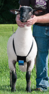Sheep and Goat Marking Harness