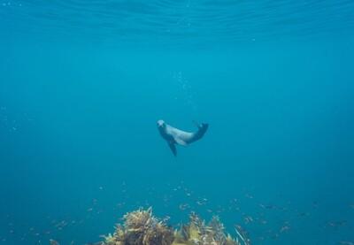 NZ Fur Seal 1