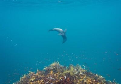 NZ Fur Seal 2