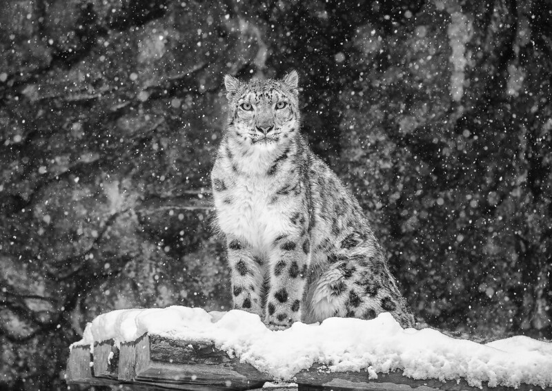 Snow Leopard in Snow A3+ size
