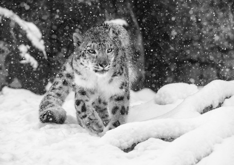 A stunning Snow Leopard A3+ size