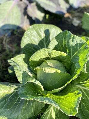Green cabbage (head)