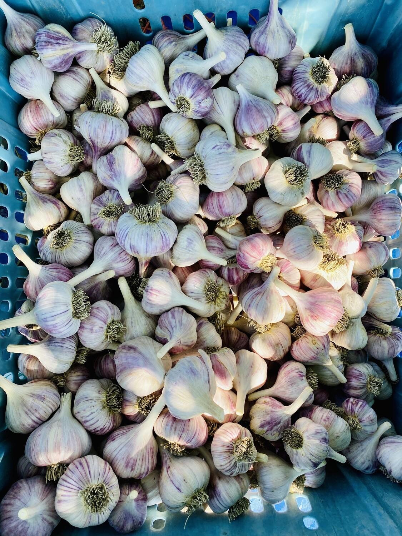 Garlic (head)
