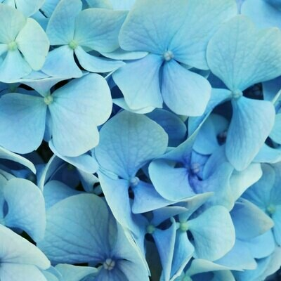 Blue (light blue) - Hydrangea blue