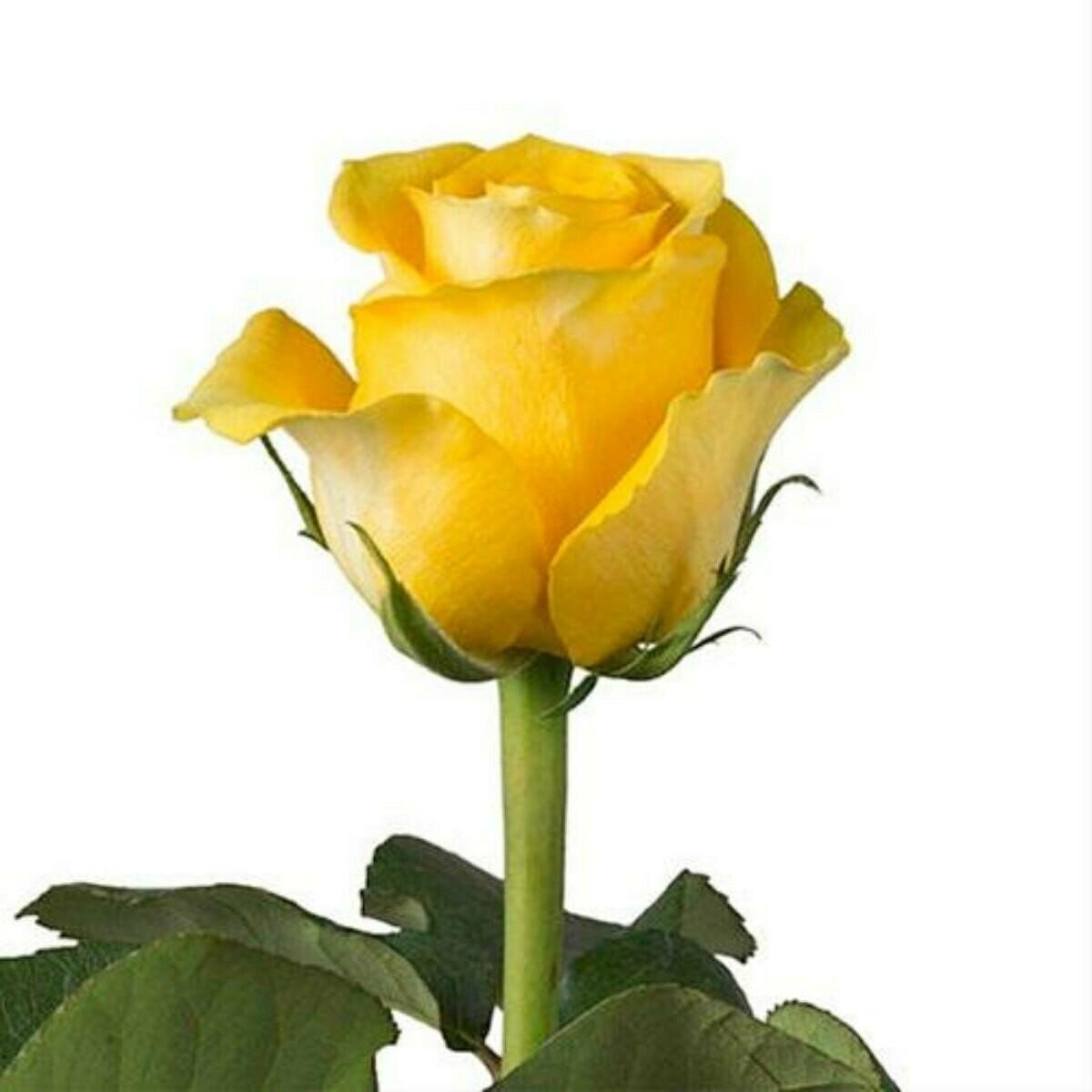 Brighton - Roses
