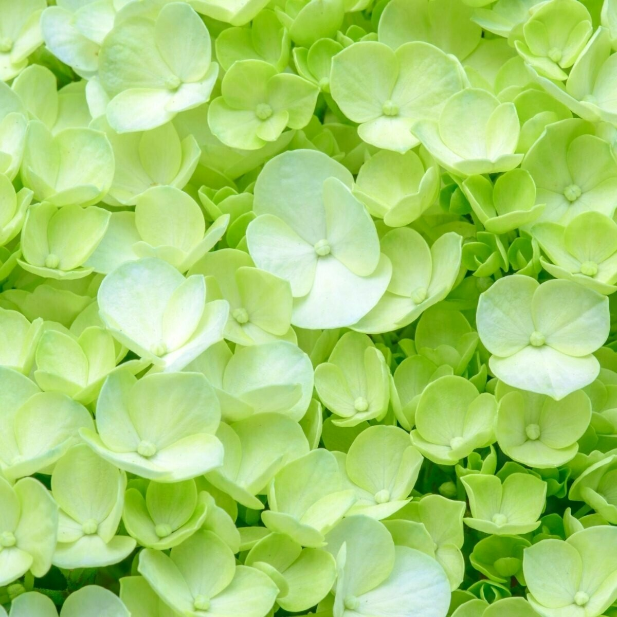 Antique Green - Hydrangea Green