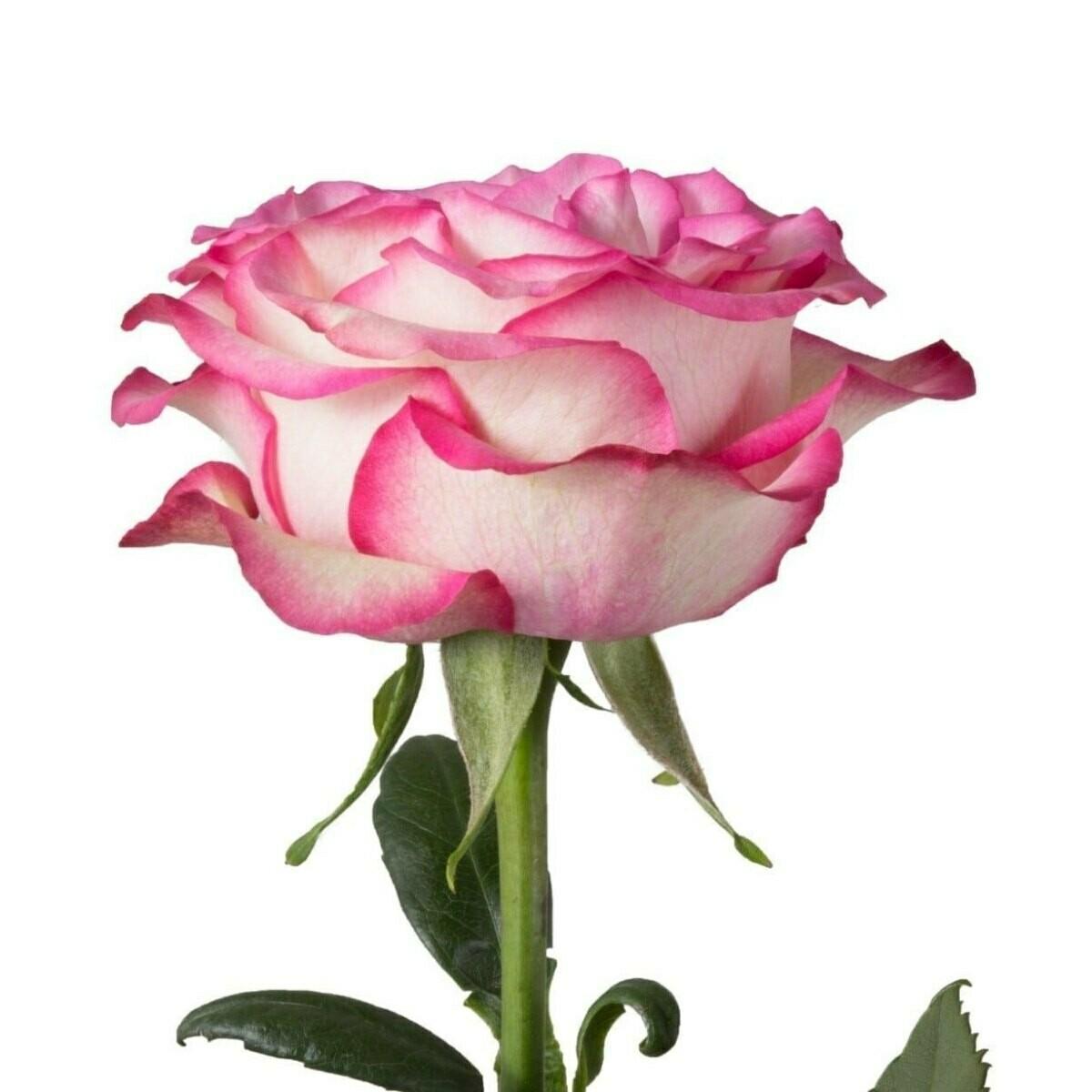 Carrousel - Roses