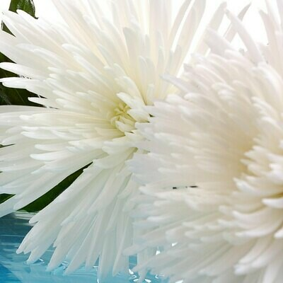 Anastasia White - spider mum - Chrysanthemum