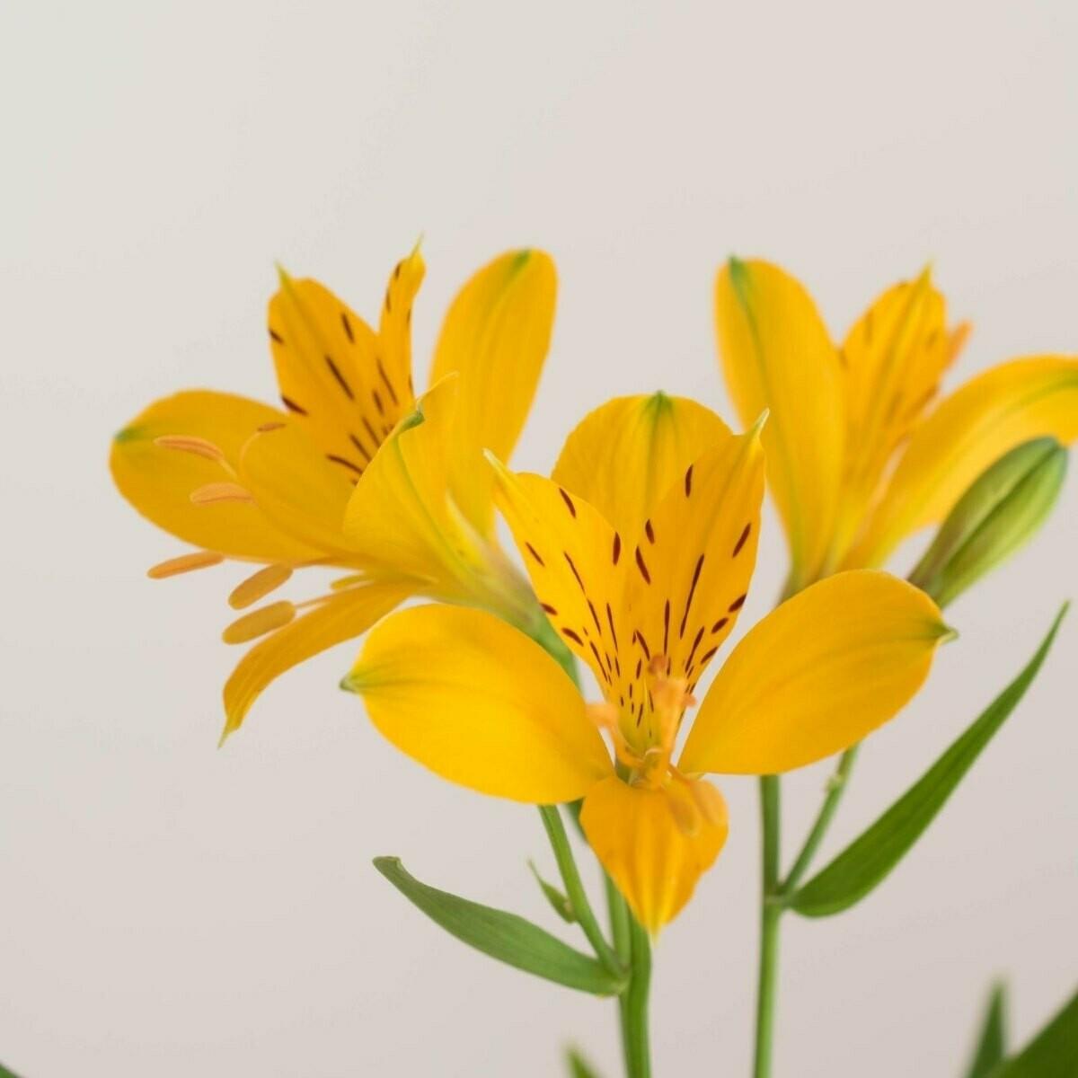 Anais - Alstroemeria Yellow