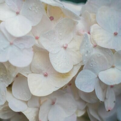 Clarity White Select - Hydrangea White