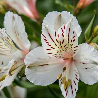 Himalaya - Alstroemeria White