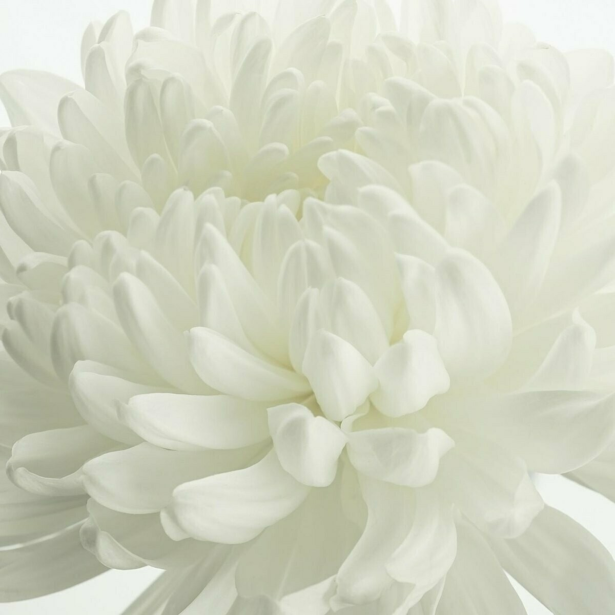 Football mums white - Chrysanthemum