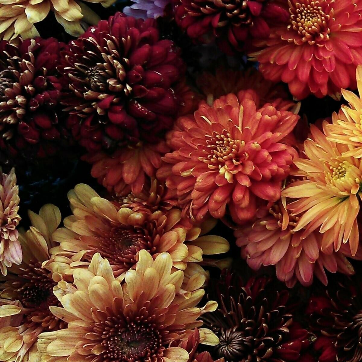Gustav Disbud ball - Chrysanthemum