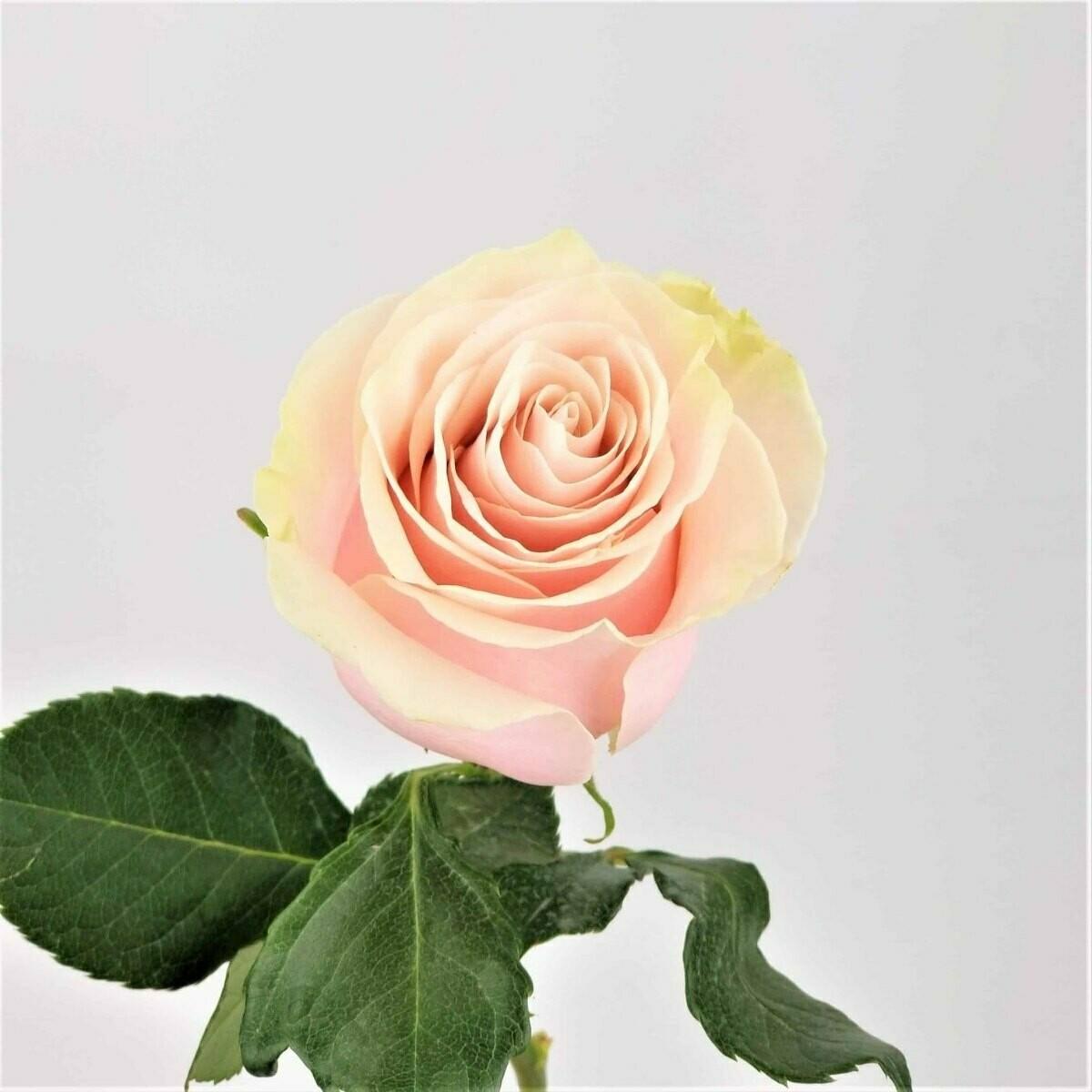 Pink Mondial - Premium Roses