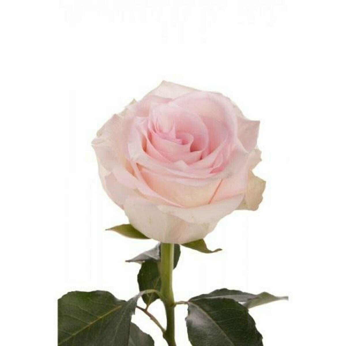 Ragazza - Premium Roses