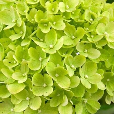 Emerald Variegated - Hydrangea Green