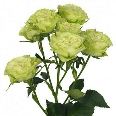 Luviana - Spray Roses white
