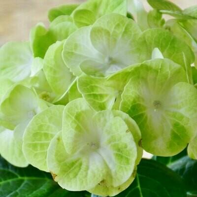 Mini Mohito - Hydrangea Green