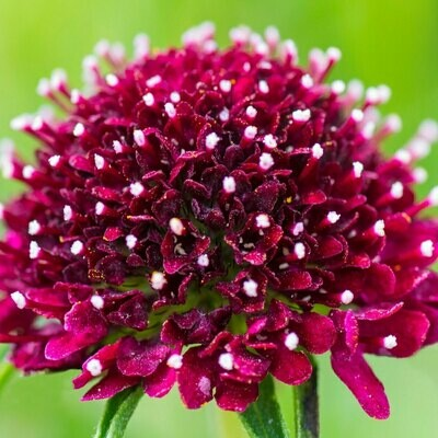 Dark red - Scabiosa
