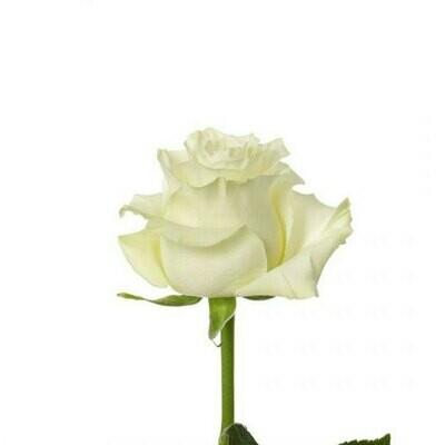 Mondial - Roses