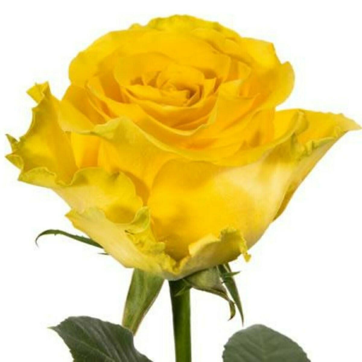 Regatta - Premium Roses