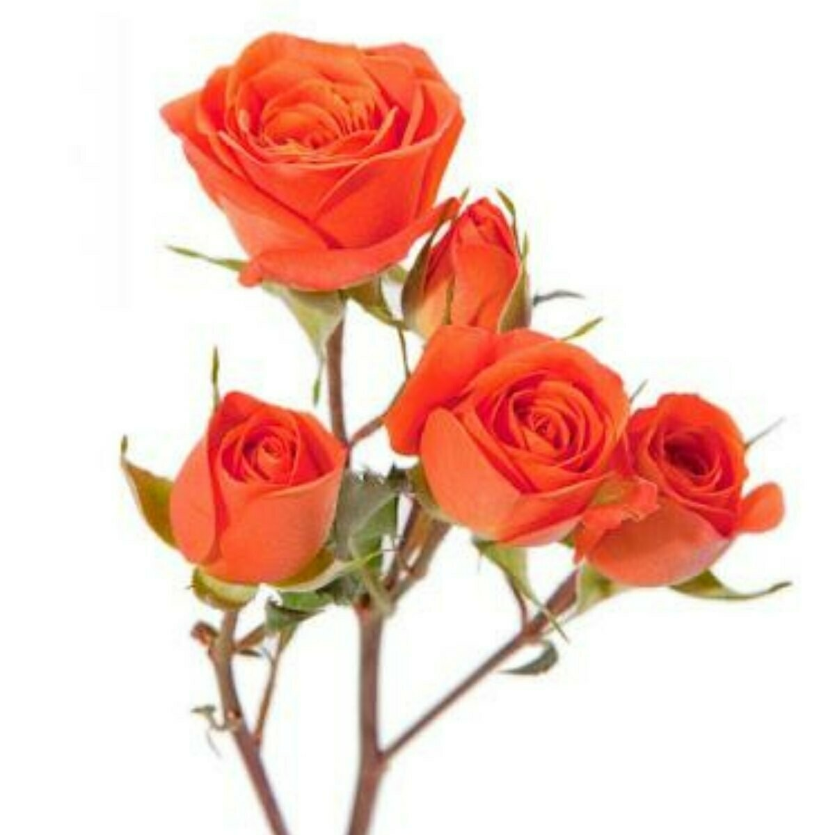 Neorange - Spray Roses Orange