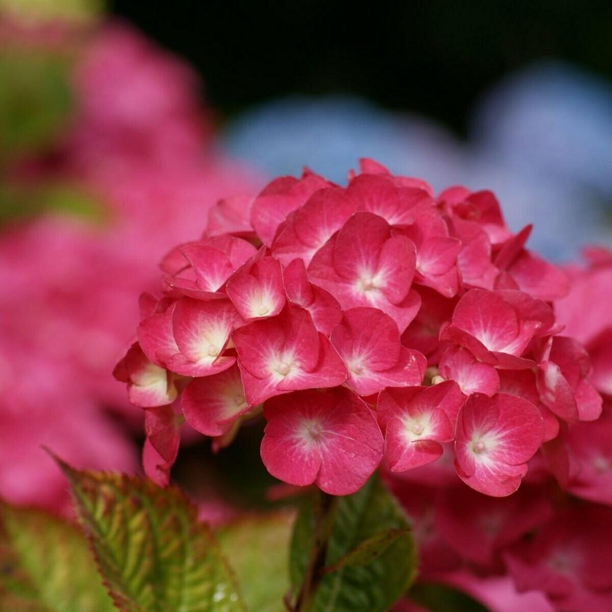 Tinted - Hydrangea hot pink