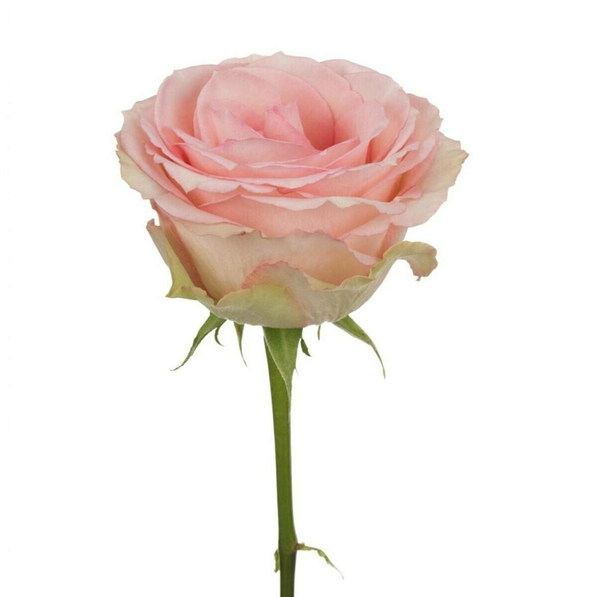 Esperance - Roses