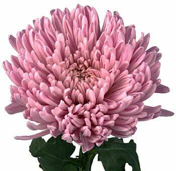 Football mum lavander - Chrysanthemum