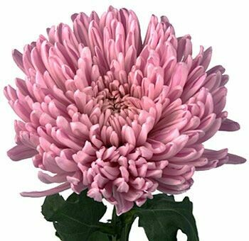 Football mum lavander - Chrysanthemum