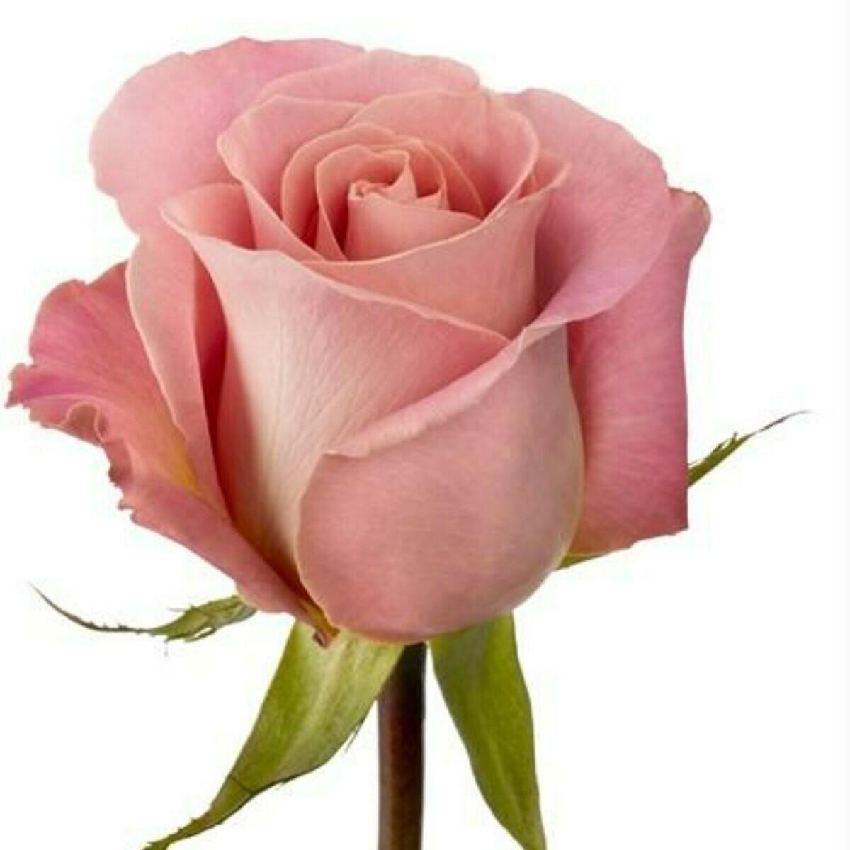 Hermosa - Premium Roses