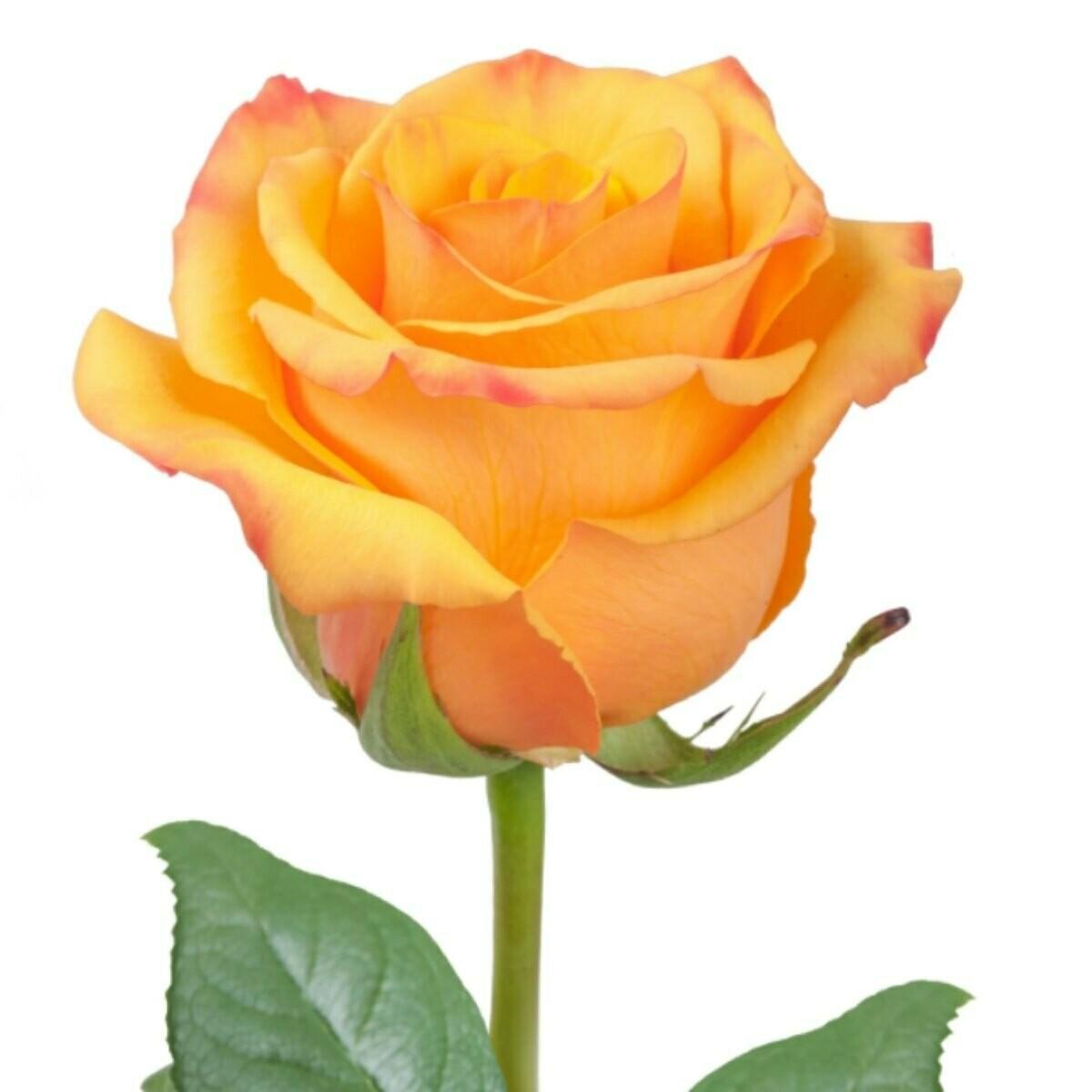 Tycoon - Premium Roses