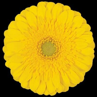Sol Yellow - Gerbera